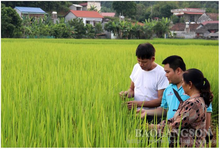 HTX Nông sản sạch Tràng Định kiểm tra quá trình sinh trưởng, phát triển lúa bao thai hồng tại xã Hùng Sơn