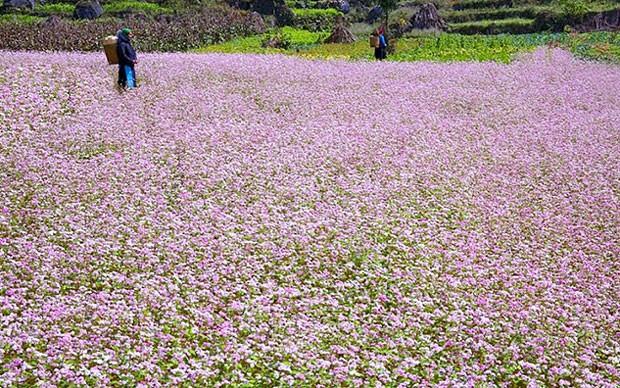 Hà Giang sẵn sàng cho Lễ hội hoa Tam giác mạch