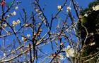 Lên Tây Bắc ngắm rừng mơ hoa nở trắng ngần cuối đông