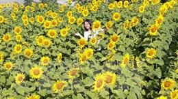 Vườn hoa hướng dương rực rỡ ở phố núi Pleiku hút khách tham quan