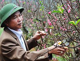 Cuộc thi vườn cây hoa đào đẹp: Góp phần nâng cao giá trị cây đào