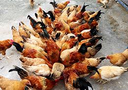 Nuôi gà ri vàng rơm kết hợp đệm lót sinh học: Hướng đi mới giúp nông dân tăng thu nhập