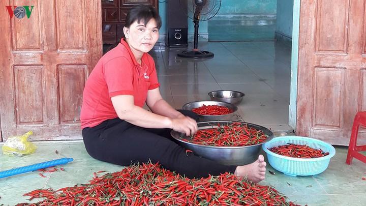 Ớt mất giá còn 8.000 đồng/kg, nông dân để ớt chín khô ngoài đồng