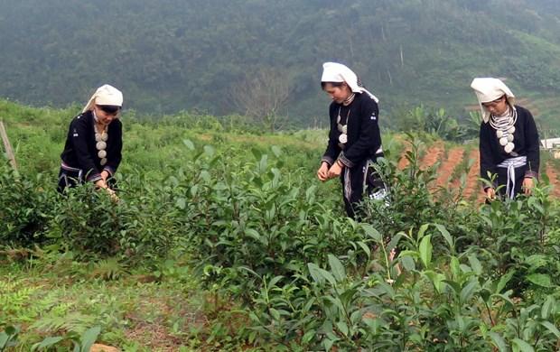 Tuyên Quang: Phát triển thương hiệu chè Shan tuyết ở huyện Na Hang