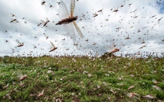 Việt Nam chuẩn bị kế hoạch ứng phó với dịch châu chấu sa mạc