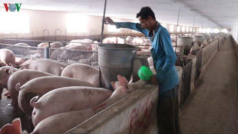 Hết dịch tả lợn châu Phi: Thúc đẩy tái đàn, đảm bảo nguồn cung