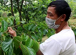 Cao Lộc tích cực phòng trừ bệnh thán thư hại cây hồng