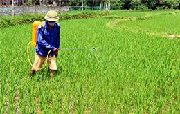 Tập trung phòng trừ sâu bệnh hại lúa xuân
