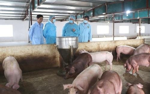 22 xã tái phát bệnh dịch tả lợn Châu Phi
