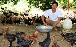 Phát triển chăn nuôi gà: Hiệu quả ở Hữu Lũng
