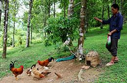 Bình Phúc: Triển vọng từ mô hình nuôi gà dưới tán hồi