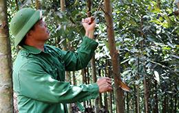 Hưng Đạo: Nhân rộng mô hình trồng quế
