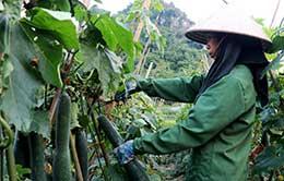 """Văn Quan: Nông dân trồng bí """"lao đao"""" vì mất giá"""