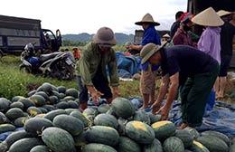 Thành phố Lạng Sơn: Nông dân phấn khởi vì dưa hấu được mùa