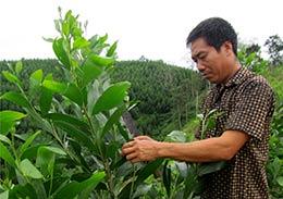 Bình Gia: Tập trung phát triển rừng gỗ lớn