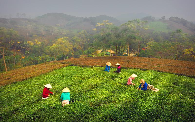 Phát triển bền vững thương hiệu chè Phú Thọ