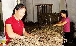 Tràng Định: Phát triển kinh tế từ cây trồng đặc sản