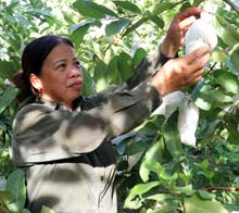 Thành phố Lạng Sơn: Chuyển đổi cây trồng trên đất lúa kém hiệu quả sang trồng cây có giá trị kinh tế cao