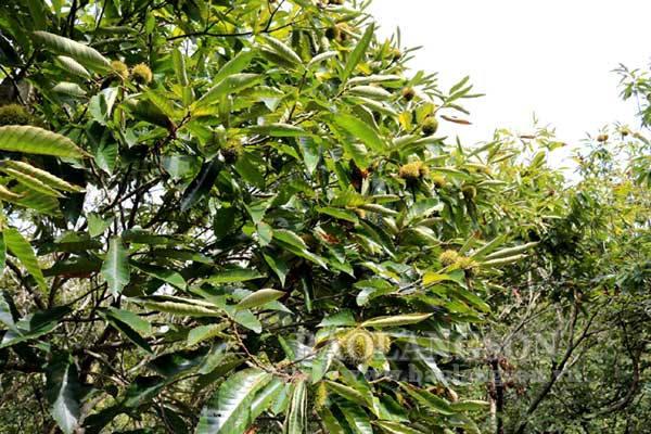 Bùi thơm hạt dẻ Quảng Lạc