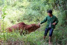 Chương trình tặng bò sinh sản của Agribank: Thêm sinh kế cho hộ nghèo