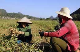 Bằng Mạc: Hiệu quả kinh tế từ trồng lạc