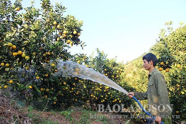Mô hình trồng cây có múi cho hiệu quả kinh tế cao tại huyện Lục Ngạn, tỉnh Bắc Giang