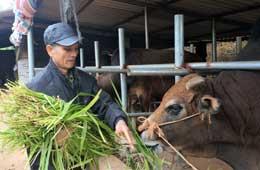 Chi Lăng: Chủ động bảo vệ đàn trâu, bò trong mùa rét
