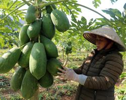 Sản xuất nông sản an toàn: Hướng đi hiệu quả của Hợp tác xã Nông sản sạch Lạng Sơn