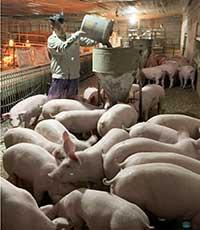 Tái đàn lợn sau dịch: Kinh nghiệm từ trang trại chăn nuôi ở Lân Bông