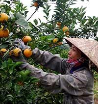 Tân Thành tăng thu từ cây có múi