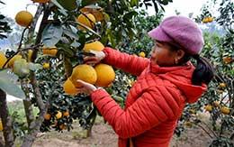 Lộc Bình: Hướng phát triển kinh tế mới từ cây ăn quả