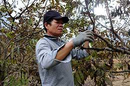 Chi Lăng: Phát triển cây ăn quả theo hướng nông nghiệp sạch