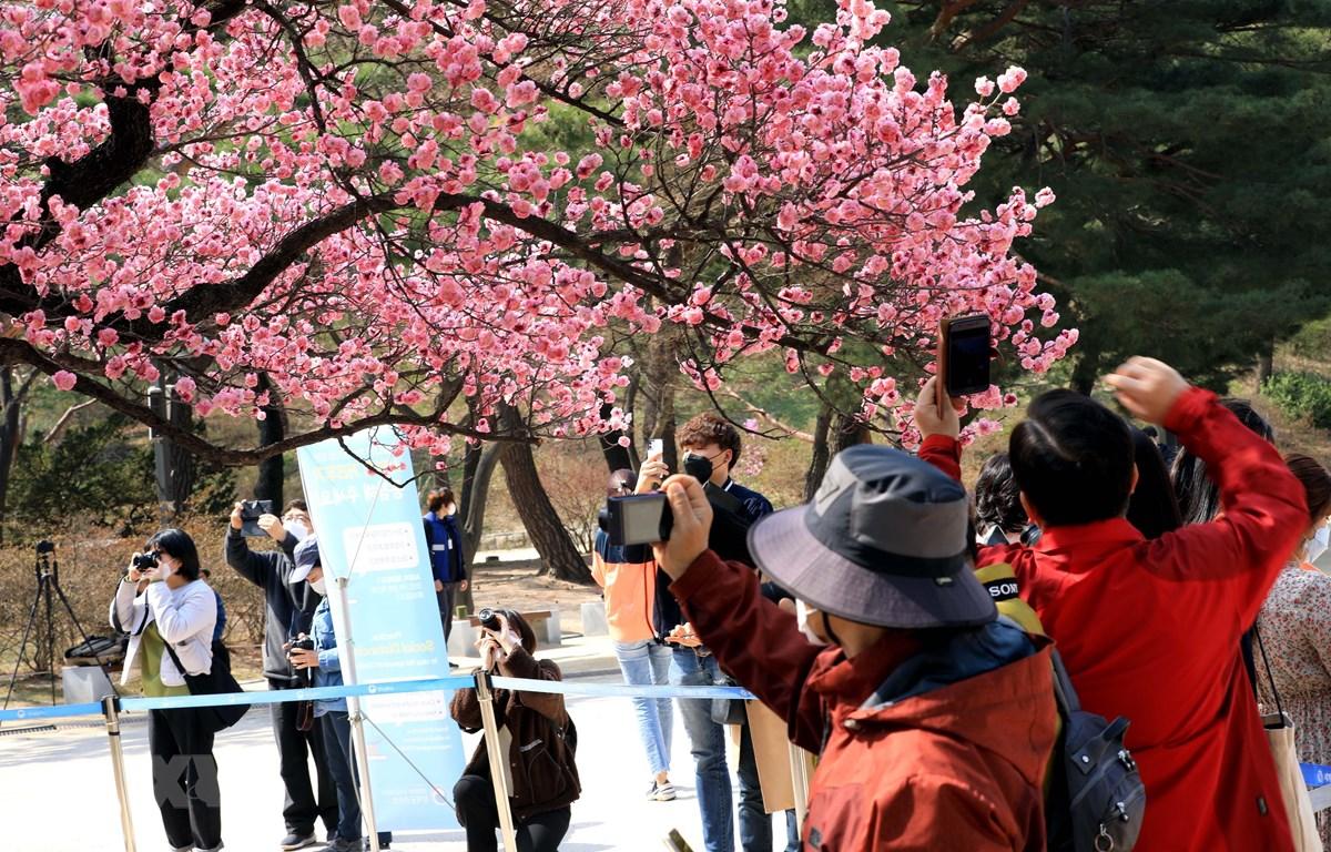 Nét mới trong thú thưởng hoa anh đào của người dân Hàn Quốc