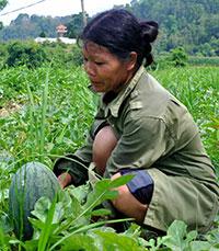 Văn Quan: Người dân tăng thu từ trồng dưa hấu