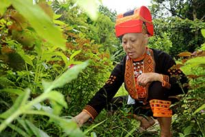 Bảo tồn những cây thuốc quý trên đỉnh Mẫu Sơn