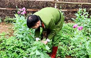 Công an tỉnh: Ngăn chặn tình trạng trồng trái phép cây có chứa chất ma túy