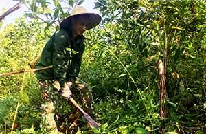 Châu Sơn: Phát triển kinh tế từ trồng keo