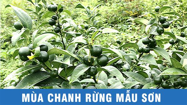 Mùa chanh rừng ở Mẫu Sơn