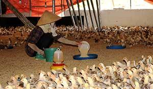 Đồng Tân: Phát triển kinh tế hiệu quả từ nuôi gà thương phẩm