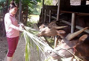 Bắc Sơn: Tập trung phát triển chăn nuôi trâu, bò