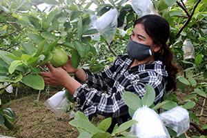 Tiêu thụ sản phẩm của các hợp tác xã nông nghiệp: Khó trong khâu kết nối hộ thành viên