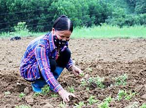 Bình Gia: Nâng cao giá trị cây thạch đen