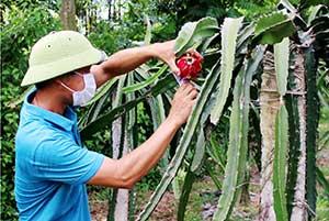 Thôn Hét: Nâng cao thu nhập từ trồng thanh long