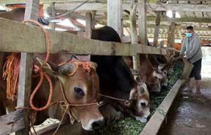 Chăn nuôi trâu, bò vỗ béo ở Chi Lăng: Nhân rộng mô hình điểm