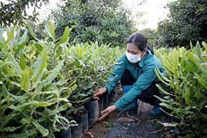 Phát triển kinh tế từ cây mắc ca: Cần lựa chọn cây giống đảm bảo chất lượng