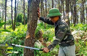 Bính Xá: Đổi thay nhờ rừng