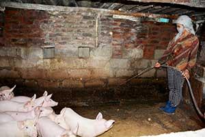 Đình Lập: Chủ động phòng dịch tả, thận trọng trong tái đàn lợn
