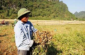 Người dân tăng thu từ trồng lạc