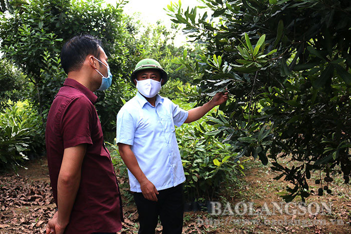 The leader of the Provincial People's Committee inspected the plantations, production and processing facilities of macadamia in the province