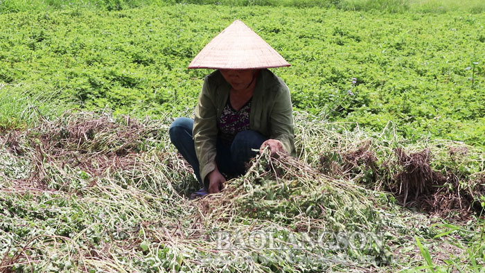 Trang Dinh: Black jelly is of a bumper harvest with high price